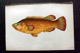 Couch 1877 Antique Fish Print. Ballan Wrass 125
